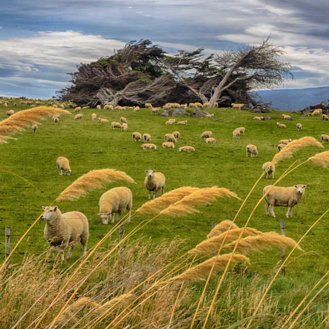 """Grazing sheep in New Zealand"" stock image"