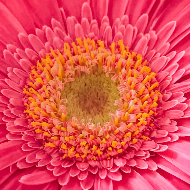 """Gerbera in details"" stock image"