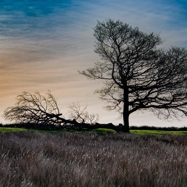 """Oak Tree at Dawn"" stock image"