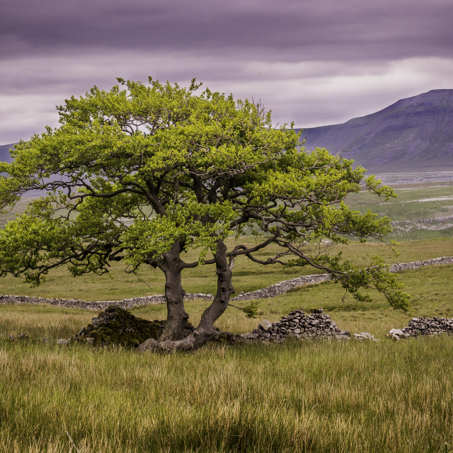 """Lonely Tree looking towards Ingleborough"" stock image"
