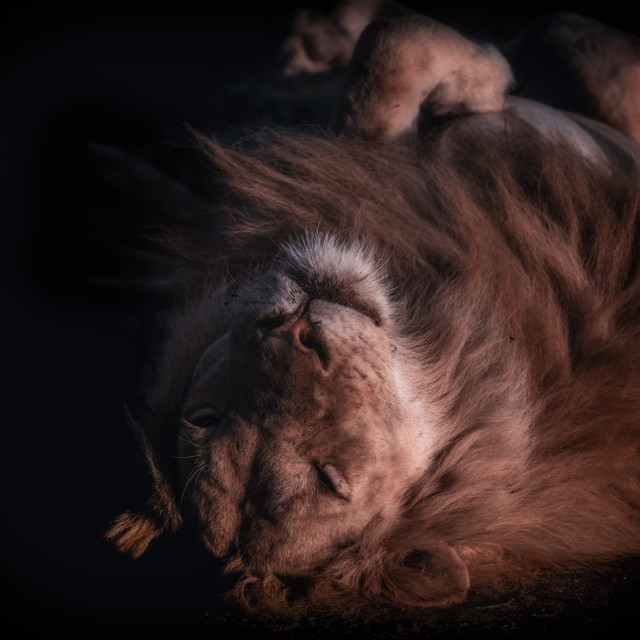"""Lazy lion"" stock image"