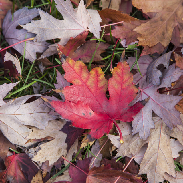 """Red maple leaf"" stock image"