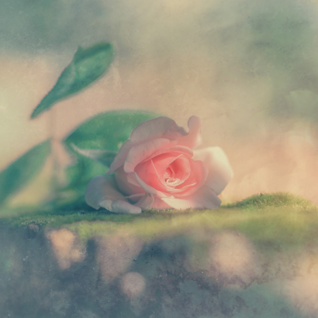 """""""A rose"""" stock image"""