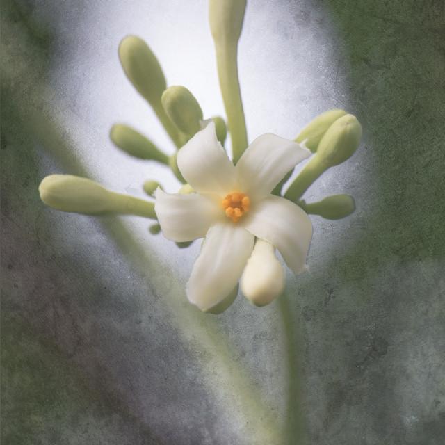 """Papaya blossom"" stock image"