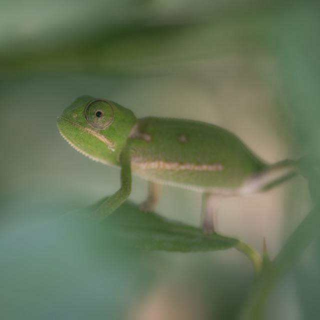 """Baby chameleon"" stock image"