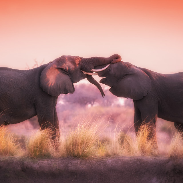 """""""Elephants playing in the evening sun"""" stock image"""