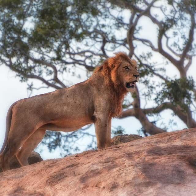 """""""The lion king"""" stock image"""