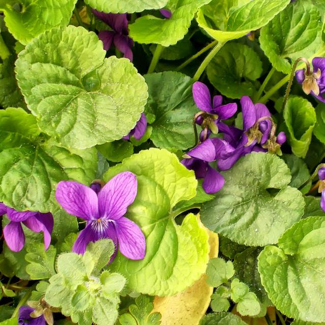 """Violet flowers"" stock image"