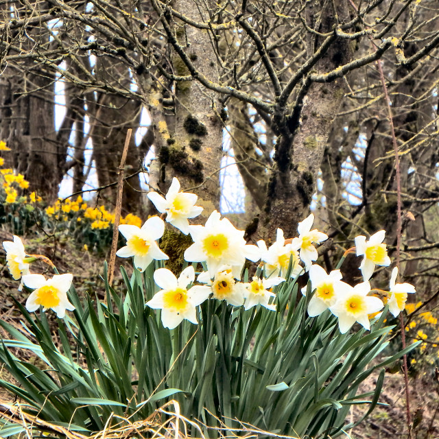 """Daffodils In Woodland"" stock image"
