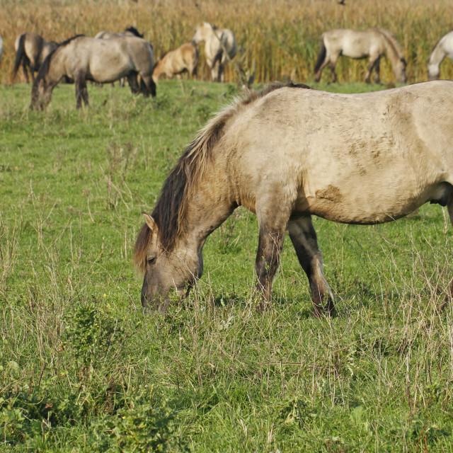 """Konik wild horses"" stock image"