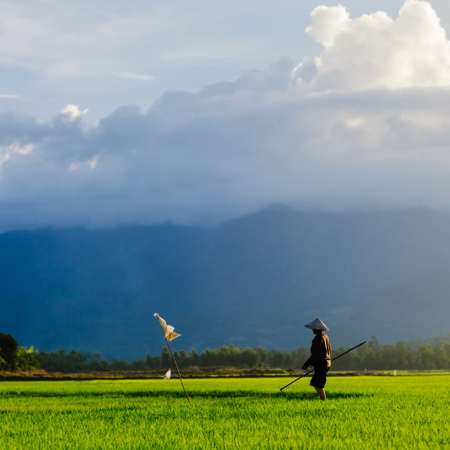 """woman working in the rice field in Vietnam"" stock image"
