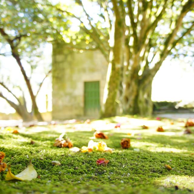 """Moss carpet with fallen camelia flowers"" stock image"