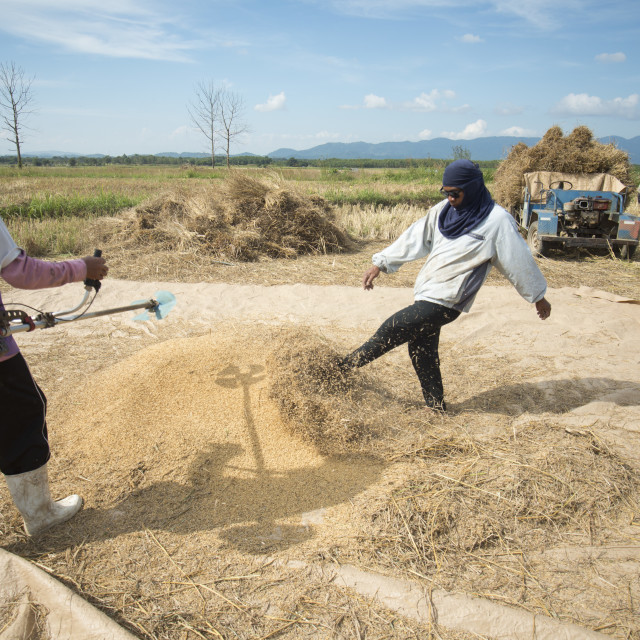 """""""THAILAND CHIANG RAI AGRICULTURE RICEFIELD EARNING"""" stock image"""