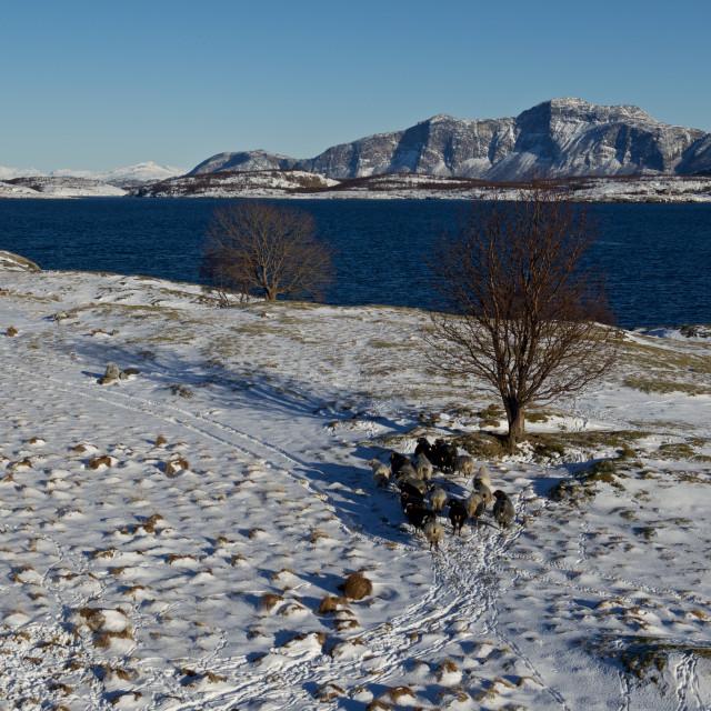 """Norwegian wild sheep on island"" stock image"