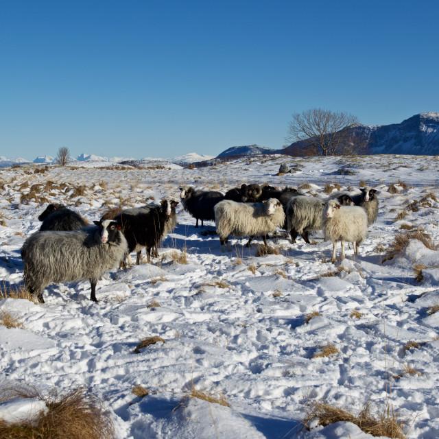 """""""Norwegian wild sheep"""" stock image"""