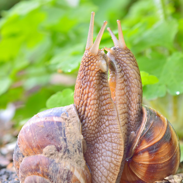 """love snails"" stock image"