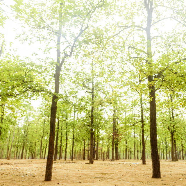 """Forest of Sal trees, Shorea robusta of Shantiniketan, West Benga"" stock image"