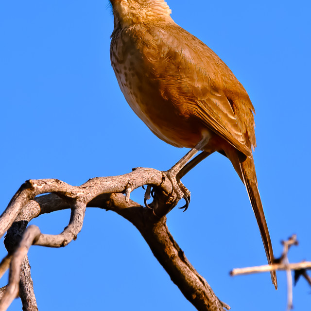 """""""Curved Bill Thrasher Perched"""" stock image"""