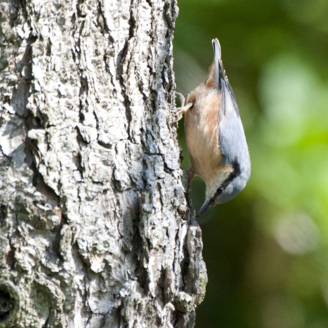 """""""Nuthatch"""" stock image"""