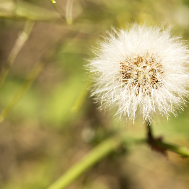 """acro photography of a dandelion."" stock image"