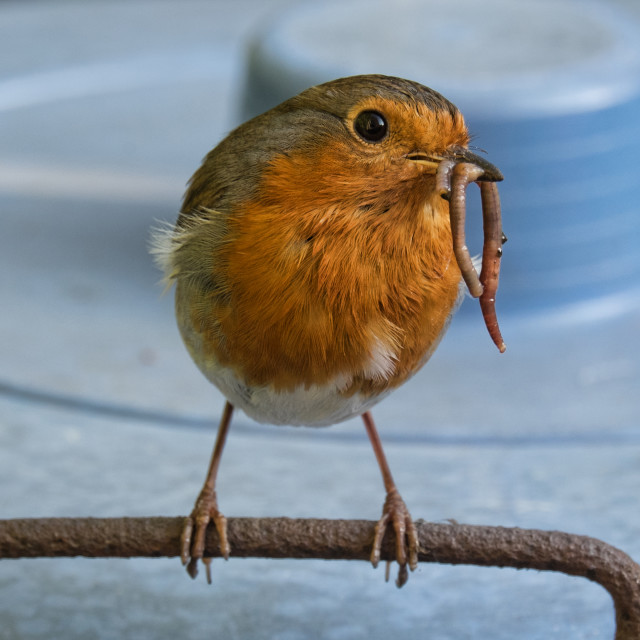 """The Robin and the Worm"" stock image"