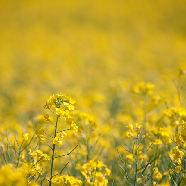 """Oilseed rape"" stock image"
