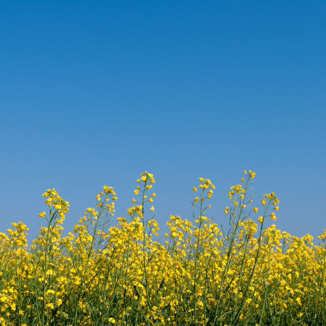 """Oilseed rape and blue sky"" stock image"