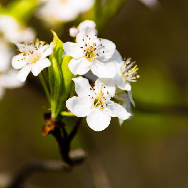 """Spring 2017-White Flowers-1"" stock image"