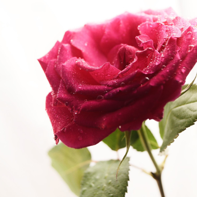 """""""pink rose in negative space"""" stock image"""