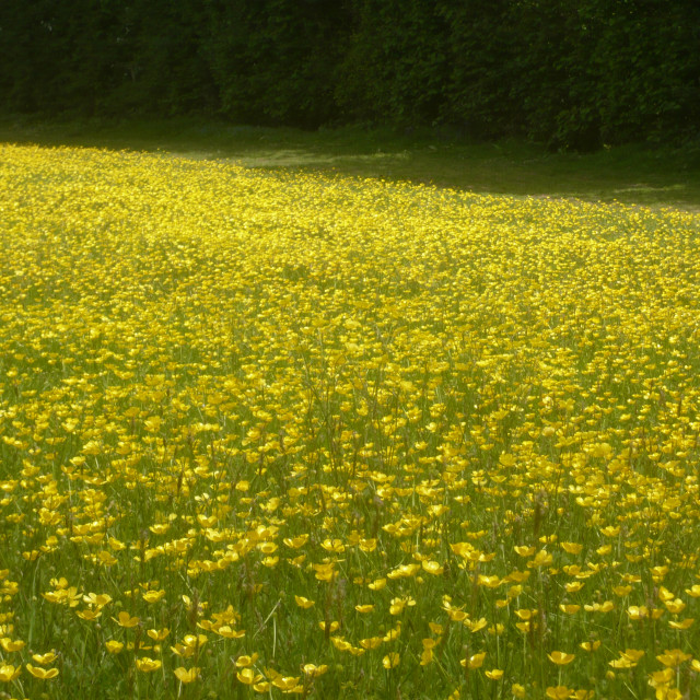 """Buttercups!"" stock image"