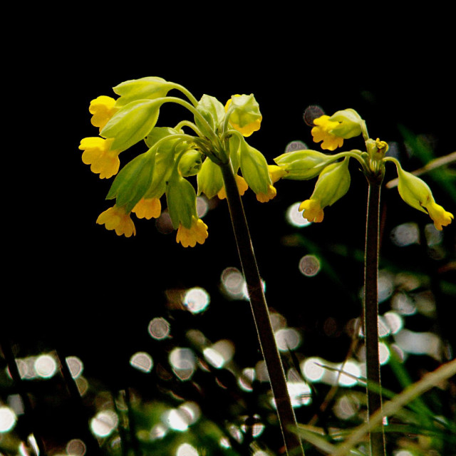 """""""Cowslips with bokeh"""" stock image"""