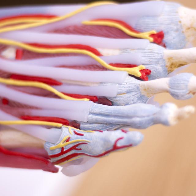 """Foot medical anatomy model"" stock image"