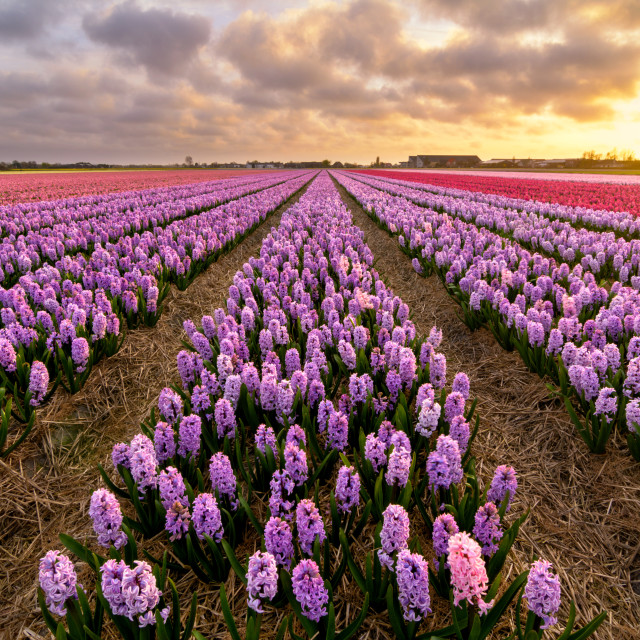 """Purple Hyacinths"" stock image"