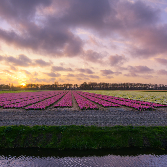 """Sunset over flowerfield"" stock image"