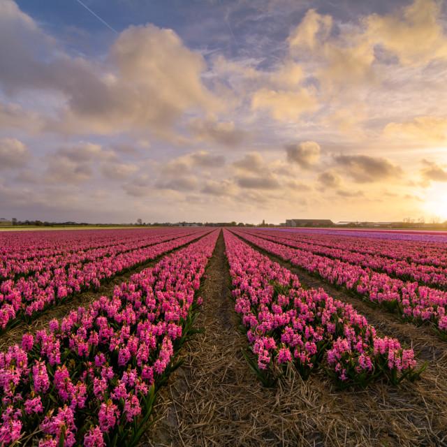 """""""Pink Hyacinths"""" stock image"""