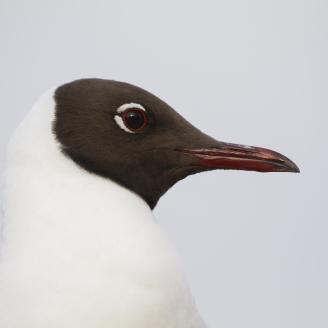 """Black-headed gull"" stock image"