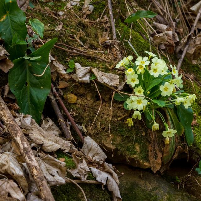 """Primula vulgaris in spring"" stock image"