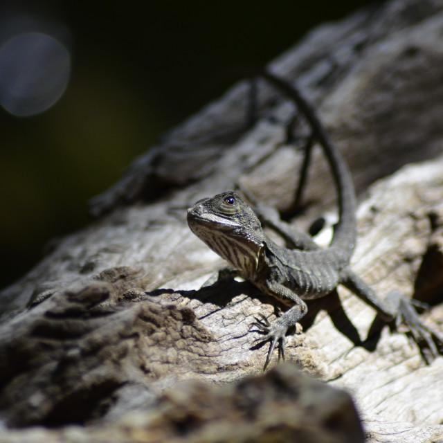 """Water Dragon Lizard"" stock image"