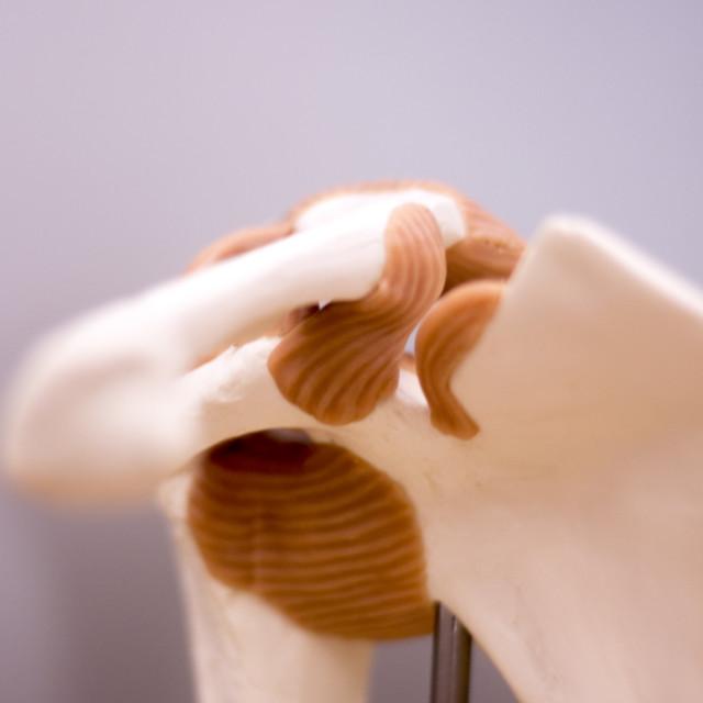"""""""Shoulder back medical model"""" stock image"""