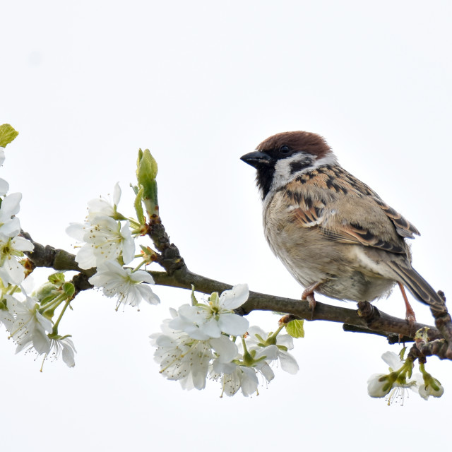 """Tree Sparrow on Plum Blossom"" stock image"