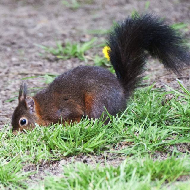 """""""Sciurus vulgaris (Red Squirrel)"""" stock image"""