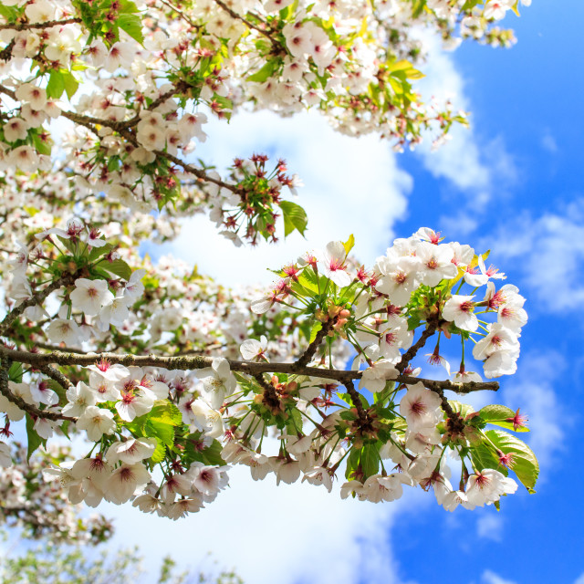 """""""Cherry blossom in Daventry"""" stock image"""