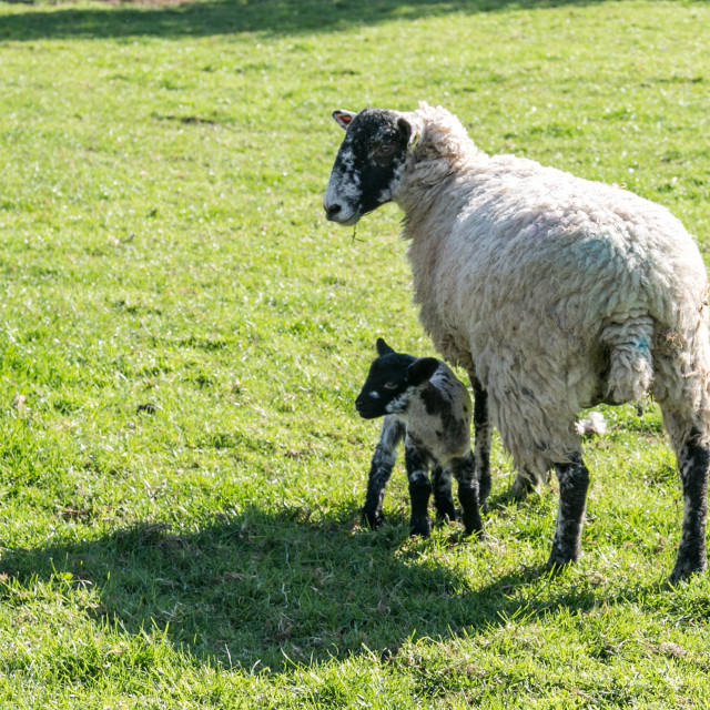 """""""Young lamb and mother"""" stock image"""