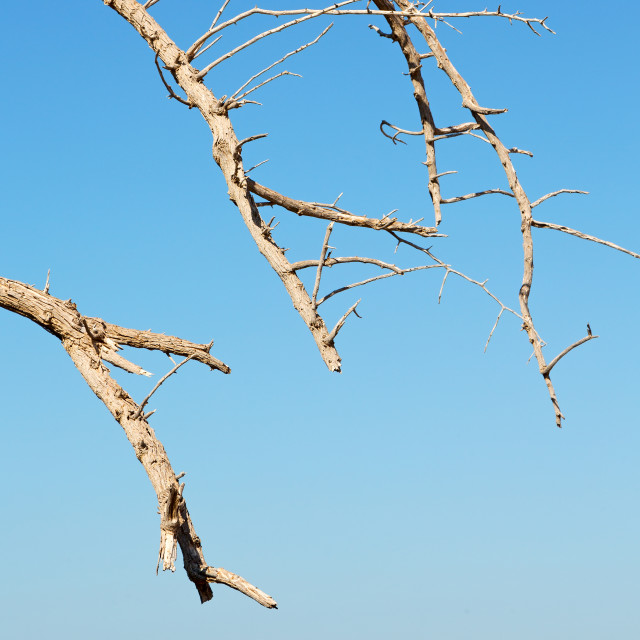 """in oman old dead tree and the sky light"" stock image"