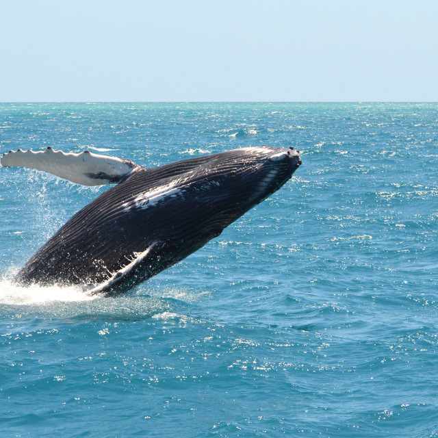 """Grey Humpback Whale Breaching in Australia"" stock image"