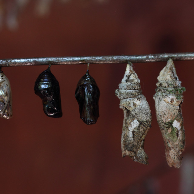 """Before Birth - Butterfly Pupa"" stock image"