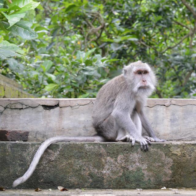 """""""Monkey Forest, Ubud in Bali"""" stock image"""