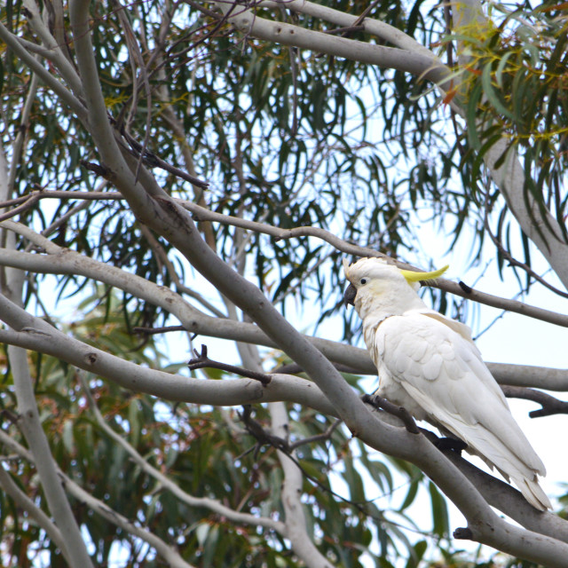 """Cockatoo in Lorne, Australia"" stock image"