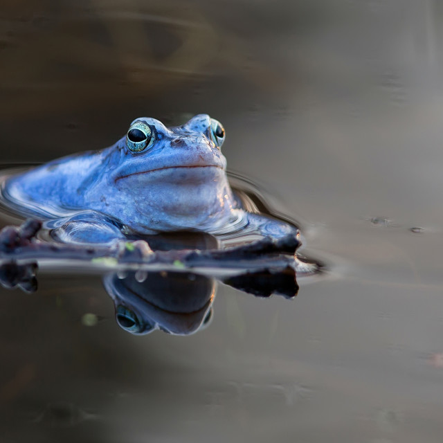 """Moor frog in the wild"" stock image"