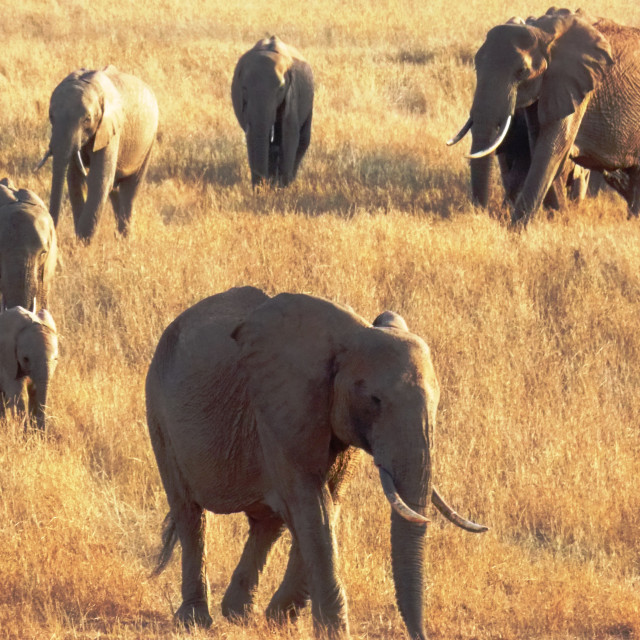 """Elephants of Tsavo"" stock image"